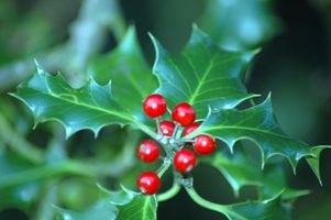 Giftige Holly planter