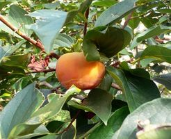 Hvordan til at identificere en Persimmon Tree